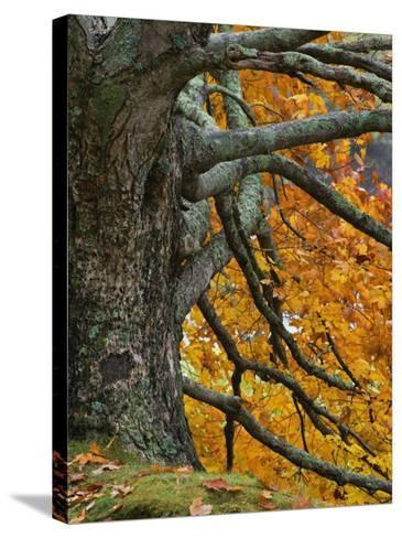 Trunk, Branches, and Fall Leaves of a Large Maple(Acer), Eastern USA-Adam Jones-Stretched Canvas Print
