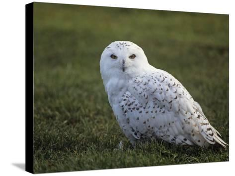 Female Snowy Owl (Nyctea Scandiaca) Standing in Green Spring Grass, Arctic North America-Tom Walker-Stretched Canvas Print