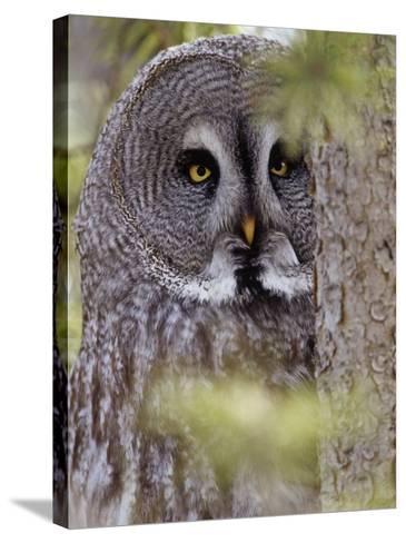 Great Gray Owl Face, Strix Nebulosa, North America-Adam Jones-Stretched Canvas Print
