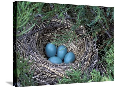 Robin Nest with Eggs, Turdus Migratorius, USA-David Cavagnaro-Stretched Canvas Print