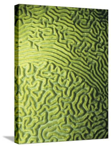Symmetrical Brain Coral, Diploria Strigosa, with Zooanthellae or Symbiotic Algae, Belize, Caribbean-James Beveridge-Stretched Canvas Print