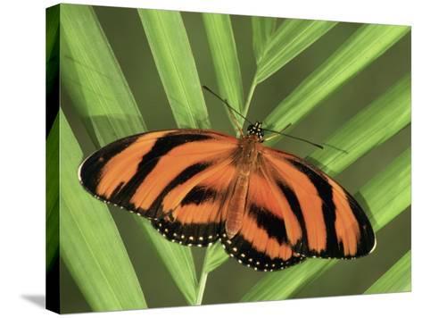 Banded Orange Heliconian Butterfly (Dryadula Phaetusa), Family Heliconiidae-Leroy Simon-Stretched Canvas Print
