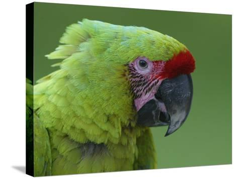 Military Macaw Head-Arthur Morris-Stretched Canvas Print