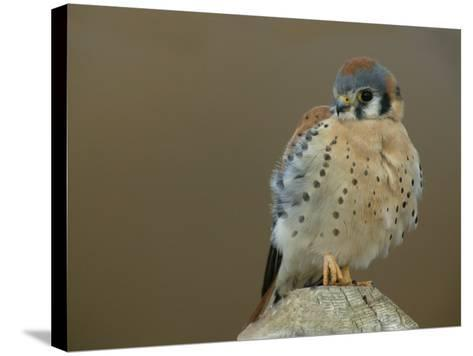 Male American Kestrel Sitting on a Post, Falco Sparverius, North America-Arthur Morris-Stretched Canvas Print