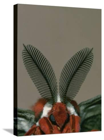 Antenna and Face of Male Cecropia Moth, Hyalophora Cecropia-Charles Melton-Stretched Canvas Print