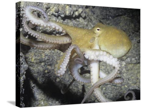 Two-Spot Octopus (Octopus Bimaculoides) Southern California, USA-Ken Lucas-Stretched Canvas Print