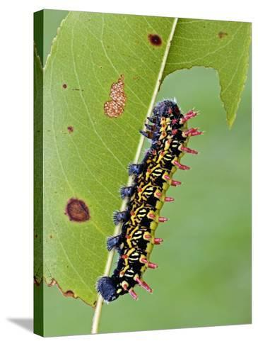 Saturnid Moth Caterpillar (Antherina Suraka) Feeding on a Leaf-Leroy Simon-Stretched Canvas Print