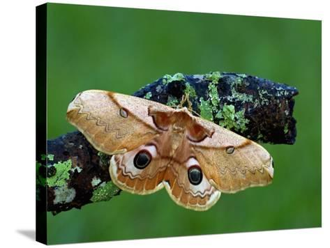 Saturnid Moth (Caligula Japonica) Female with Open Wings Showing its Eyespots-Leroy Simon-Stretched Canvas Print