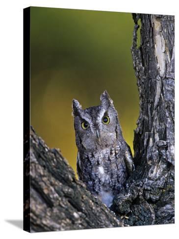 Western Screech Owl in a Coniferous Forest, Otus Kennicotti, Western North America-Jack Michanowski-Stretched Canvas Print