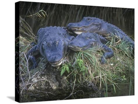 American Alligators, Alligator Mississippiensis, Everglades National Park, Florida, USA-Gary Meszaros-Stretched Canvas Print