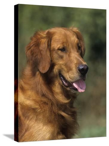 Golden Retriever Breed of Domestic Dog-Cheryl Ertelt-Stretched Canvas Print