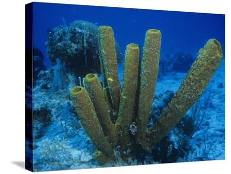 Yellow Tube Sponges, Aplysina Fistularis, Phylum Porifera, Caribbean-Christopher Crowley-Stretched Canvas Print