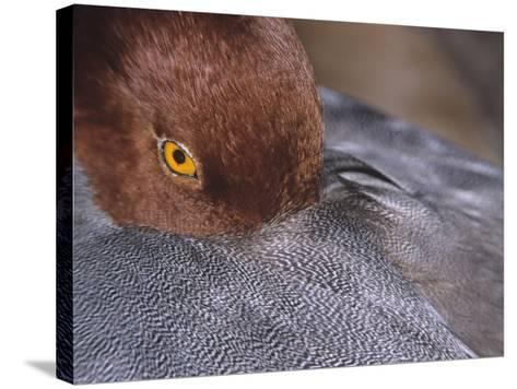 Close-Up of a Male Redhead Duck Head Resting, Aythya Americana, North America-Arthur Morris-Stretched Canvas Print