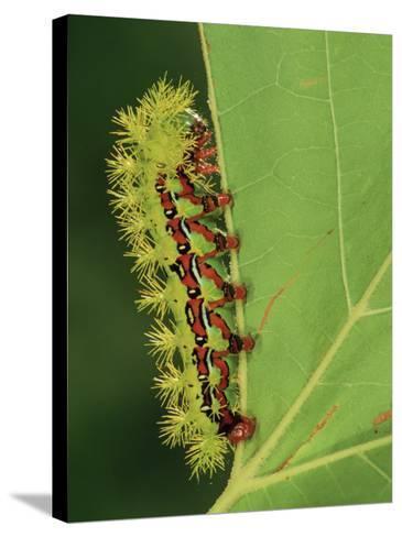 Saturniid Moth Larva or Caterpillar (Molippa Rosea), Family Saturniidae, Mexico-Leroy Simon-Stretched Canvas Print