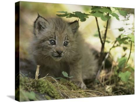 Canada Lynx Kitten, Lynx Canadensis, North America-Joe McDonald-Stretched Canvas Print