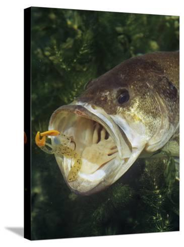 Largemouth Bass with Plastic Lure Underwater-Wally Eberhart-Stretched Canvas Print