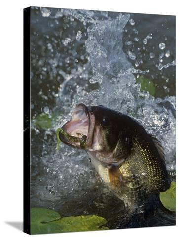Largemouth Bass, Plastic Lure, Lily Pads-Wally Eberhart-Stretched Canvas Print