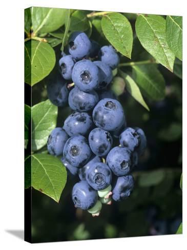 Blueberries, 'North Blue' Variety-Wally Eberhart-Stretched Canvas Print