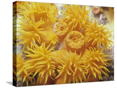 Opened and Unopened Polyps of a Tube or Cup Coral, Tubastraea-David Fleetham-Stretched Canvas Print