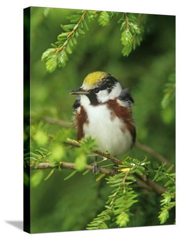 Male Chestnut-Sided Warbler in Breeding Plumage, Dendoica Pennsylvanica, . USA-Adam Jones-Stretched Canvas Print