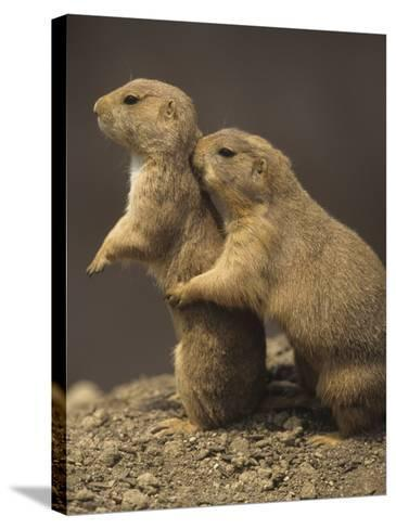 Black-Tailed Prairie Dogs, Cynomys Ludovicianus, Western North America-Adam Jones-Stretched Canvas Print