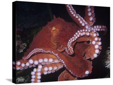 Giant Pacific Octopus Showing Suckers on its Arms, Alaska to California, Usa-Ken Lucas-Stretched Canvas Print