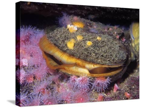 Rock Scallop (Hinnites Giganteus), Pacific Coast of North America-Ken Lucas-Stretched Canvas Print