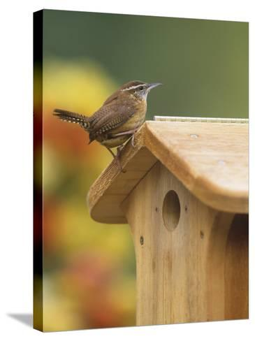 Carolina Wren at its Nest Box or Bird House (Thryothorus Ludovicianus), Eastern USA-Steve Maslowski-Stretched Canvas Print