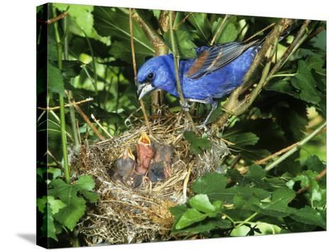 Male Blue Grosbeak (Guiraca Caerulea) at its Nest, Kentucky, USA-Steve Maslowski-Stretched Canvas Print