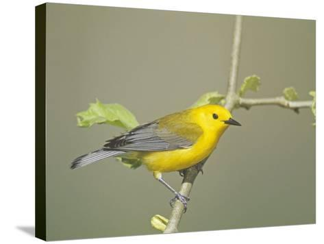 Male Prothonotary Warbler (Protonotaria Citrae). Eastern USA-Steve Maslowski-Stretched Canvas Print