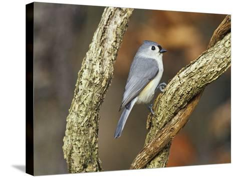 Tufted Titmouse (Baeolophus Bicolor), Eastern North America-Steve Maslowski-Stretched Canvas Print