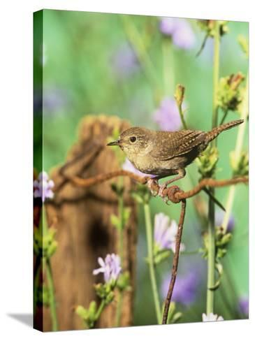 House Wren (Troglodytes Aedon), Eastern North America-Steve Maslowski-Stretched Canvas Print