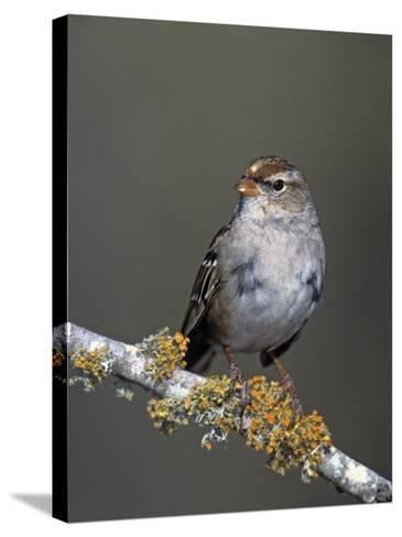 White-Crowned Sparrow in First Winter Plumage, Zonotrichia Leucophrys, North America-Arthur Morris-Stretched Canvas Print