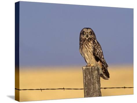 Short-Eared Owl (Asio Flammeus) on a Fence Post, North America-Tom Ulrich-Stretched Canvas Print