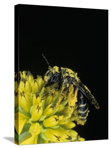 Pollen Covered Leafcutting Bee on Wingstem, Mgachilidae, on, Verbesina Alternifolia-Bill Beatty-Stretched Canvas Print