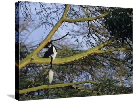 Black and White Colobus Monkey, Colobus Angolensis, Nakuru National Park, Kenya, Africa-Joe & Mary Ann McDonald-Stretched Canvas Print