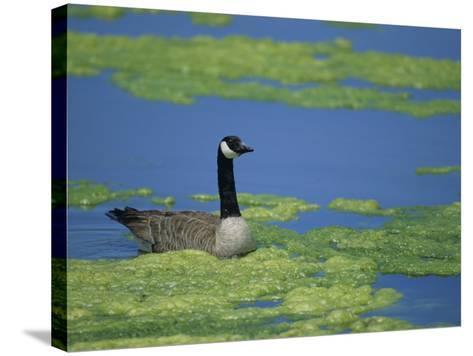 Canada Goose in a Eutrophic Pond, Branta Canadensis, North America-John & Barbara Gerlach-Stretched Canvas Print