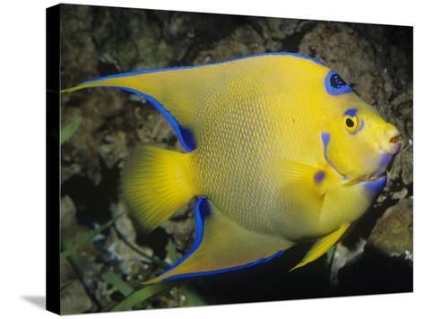 Queen Angelfish, Bermuda to Brazil-Ken Lucas-Stretched Canvas Print