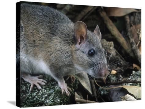 Key Largo Wood Rat or Packrat (Neotoma Floridana Smalli), an Endangered Species, Florida, USA-Rob & Ann Simpson-Stretched Canvas Print