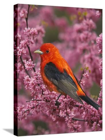 A Male Scarlet Tanager, Piranga Olivacea, in a Flowering Redbud Tree, Eastern USA-Adam Jones-Stretched Canvas Print