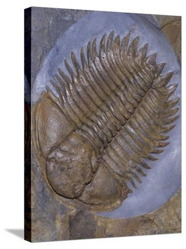 Trilobite Fossil, Ordovician, 473-476 M.Y.A., England-Ken Lucas-Stretched Canvas Print