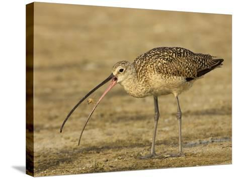 Long-Billed Curlew, Numenius Americanus, with a Crab in its Beak, North America-John Cornell-Stretched Canvas Print