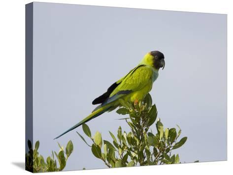 Black-Hooded Parakeet, Nandayus Nenday, an Introduced Species into South Florida, USA-John Cornell-Stretched Canvas Print