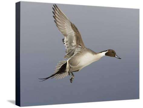 Northern Pintail, Anas Acuta, Male in Flight, North America-John Cornell-Stretched Canvas Print