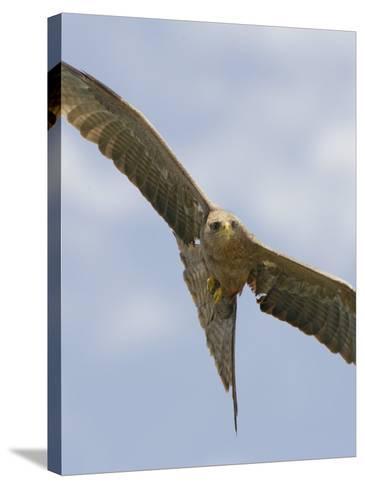 Yellow-Billed Kite in Flight, Milvus Aegyptius, Ngorongoro Crater, Tanzania, Africa-Arthur Morris-Stretched Canvas Print