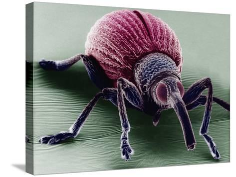A Snout Beetle-David Phillips-Stretched Canvas Print