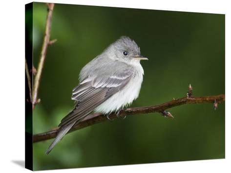 Eastern Wood-Peewee, Contopus Virens, . Eastern USA-John Cornell-Stretched Canvas Print
