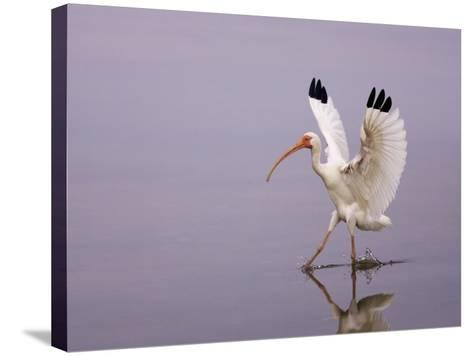 White Ibis Walking Through Water with Wings Open, Endocimus Albus, North America-John Cornell-Stretched Canvas Print