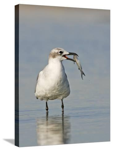 Laughing Gull, Larus Atricilla, with Fish in its Mouth, Eastern North America-John Cornell-Stretched Canvas Print
