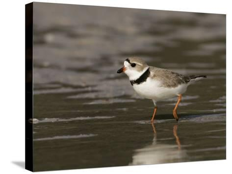 Piping Plover, Charadrius Melodus, an Endangered Species, North America-John Cornell-Stretched Canvas Print